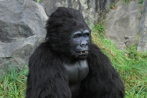 animatronic gorilla costume for hire, book an animatronic gorilla for you event today. realist animal suit for hire.