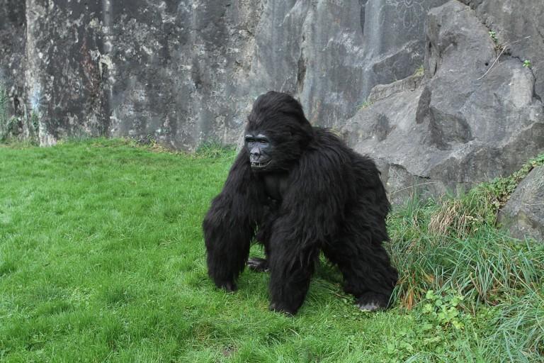 gorilla suit for hire.